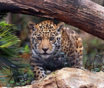 Jaguar Heredia Costa Rica Rain Forest Properties